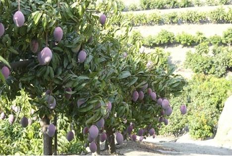 Espa 241 A El Mango Lucha Por Derrocar Al Cultivo Del Aguacate
