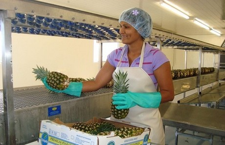 Panama Pineapple exports might Double