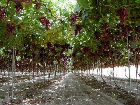 Chilean companies looking to produce grape avocado and for Cultivo de uva de mesa en peru