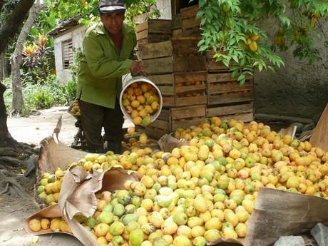 Empezó acopio del mango en Santiago de Cuba