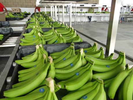 Мексиканские экспортеры бананов начали отгрузки на российский рынок