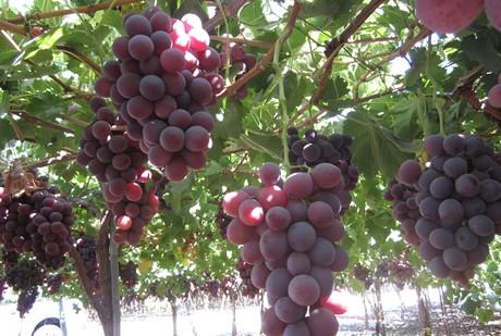 Russia una conclusione difficile per la campagna dell 39 uva - Red globe uva da tavola ...
