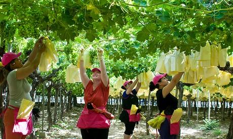 Uvasdoce l 39 export di uva da tavola spagnola continua a crescere anche grazie allo sbarco su - Uva da tavola precoce ...