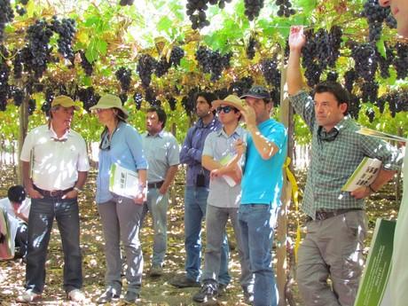 Chile presenta sus nuevas variedades de uva de mesa - Variedades de uva de mesa ...