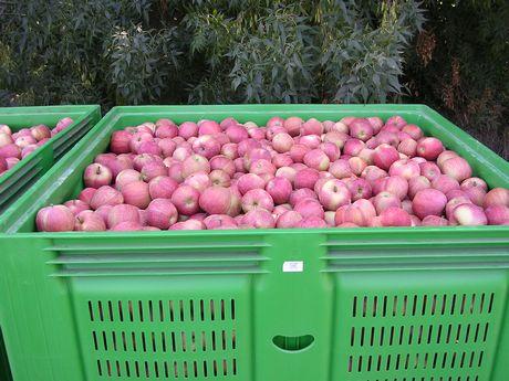 L 39 abbondante fornitura di francia e italia mette sotto - Mele fuji coltivazione ...