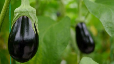 Almeria produces 7 of every 10 eggplants spain exports