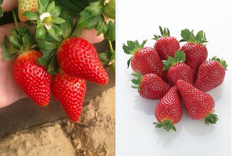 New strawberry and raspberry varieties