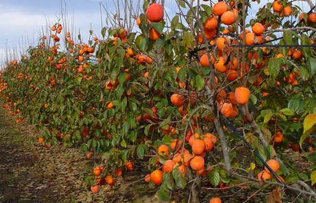 spain warning issued on non payments to persimmon farmers. Black Bedroom Furniture Sets. Home Design Ideas