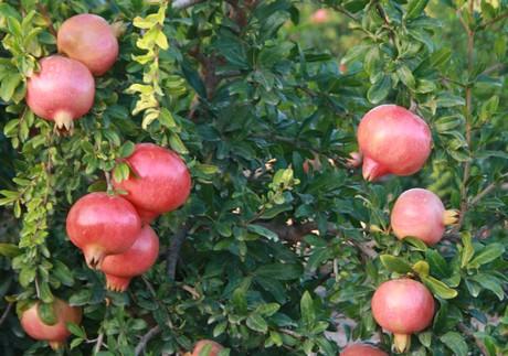 Etwas Neues genug Spanien: Größere Granatapfel Ernte und schwierigere Saison erwartet &US_02