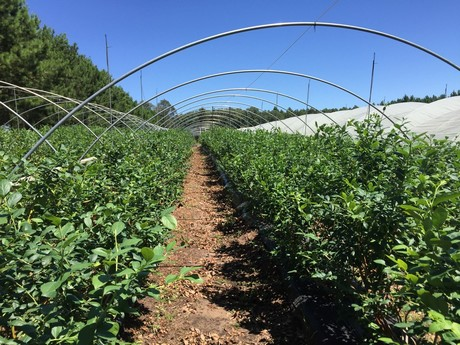 Выращивание черники в теплице круглый год 37