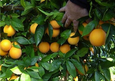 beste orangen sorte