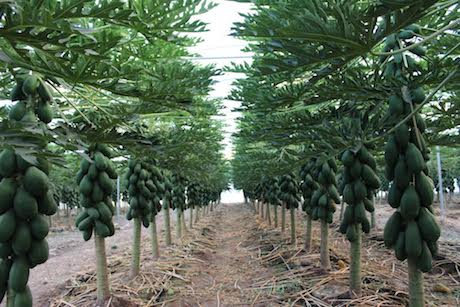 Spain: Project for papaya cultivation in greenhouses on strawberry plant, mango plant, pepper plant, guava plant, cashew plant, peanut plant, passion fruit plant, aloe vera plant, dragon fruit plant, hibiscus plant, male plant, radish plant, pomegranate plant, star fruit plant, dates plant, rubber tree plant, avocado plant, green beans plant, peach plant, soybean plant,