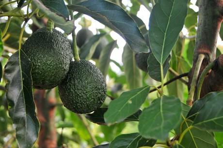 brazil the adalgiza avocado new variety is officially recognized rh freshplaza com