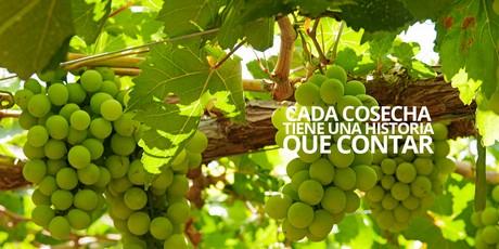 Peru 39 si prevede un volume inferiore del 50 per l 39 uva da - Red globe uva da tavola ...