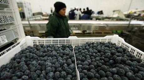 Peru export blauwe bessen groeit tot 2021 jaarlijks met 12 for Essen proveedores
