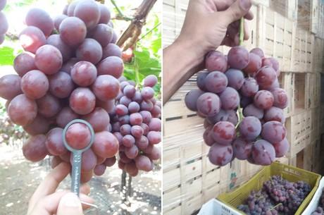 Tra qualche anno le uve thomson e red globe non saranno - Red globe uva da tavola ...