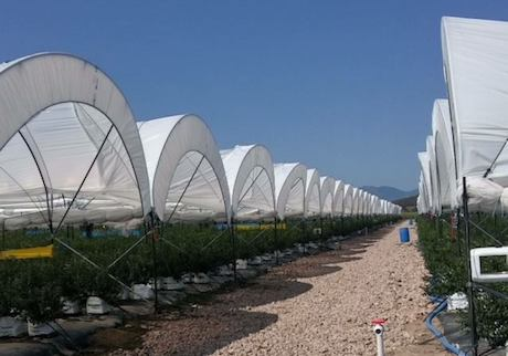 Mexico: New blueberry plantations in Jalisco