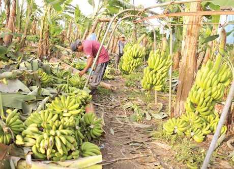 bananos_cochabamba.jpg