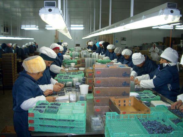 Situación y desafíos de la producción de arándanos en Uruguay